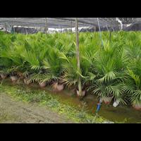 廣西國王椰子,廣西國王椰子小苗