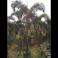 江西狐尾椰子,江西出售狐尾椰子