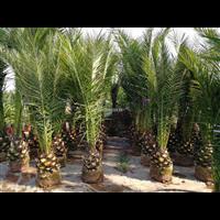 江蘇加拿利海棗,江蘇檳榔竹