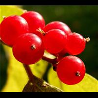 江苏红果丹青多少钱一棵-江苏红果丹青种植