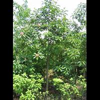 广东红花木莲价格-广东红花木莲种植基地