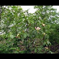 贵州红花木莲供应-贵州红花木莲多少钱一棵
