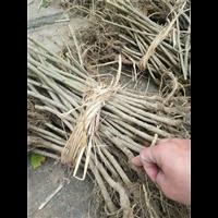 桑果树苗――桑葚苗基地