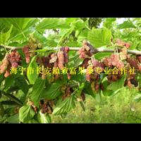 红果2号桑枣树苗,桑树苗,桑果苗,果桑苗