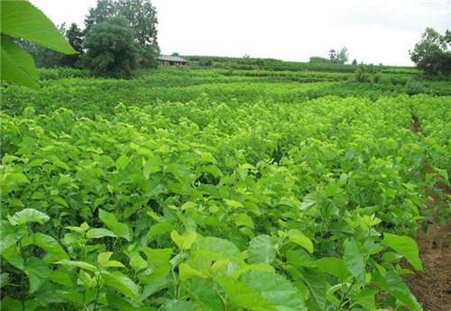 桑果苗品种