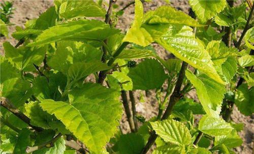 果桑苗品种