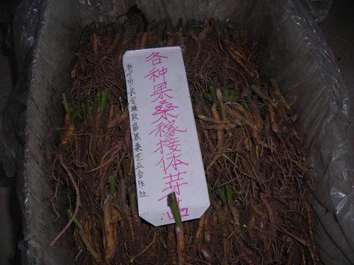 各种果桑苗嫁接体芽苗――果桑苗