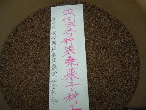 出售各种果桑树苗―果子―种子