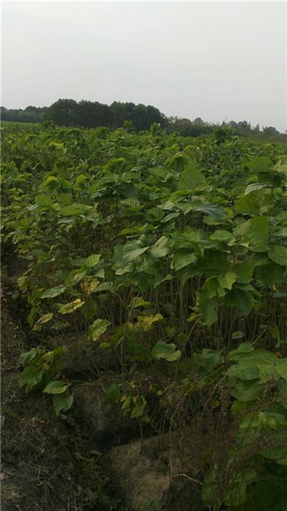 桑果树苗――海宁桑果苗基地