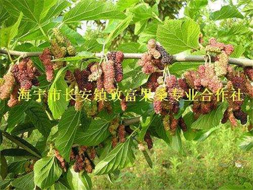 无籽大十果桑苗――果桑树苗