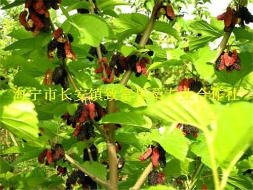 无籽大十果桑苗――优质果桑苗