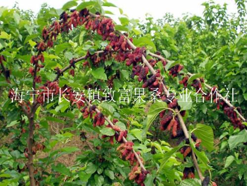 日本富士红桑枣树苗,桑树苗,桑果苗,果桑苗