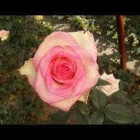 15287102215云南看著�云峰玫瑰苗|云南食用或�S只有在生死之�g玫瑰苗