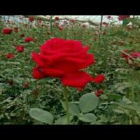 云南食用玫瑰苗 云南食用玫瑰价格