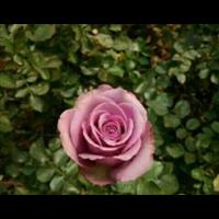 云南食用�玫瑰苗 云南食用玫�瑰价格