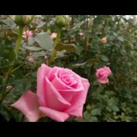 云南食用玫瑰�e苗价格
