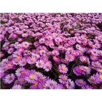 荷兰菊-皇冠紫