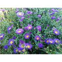 荷兰菊(蓝)