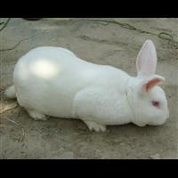 赣州肉兔|赣州肉兔睡眠期饲养管理