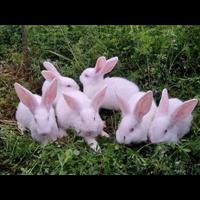 江西獭兔|江西獭兔开眼期肉兔的饲养