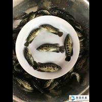 广东淡水石斑鱼苗