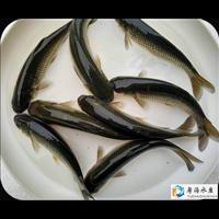 广东长江草鱼苗