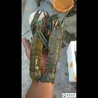 广东澳洲龙虾苗