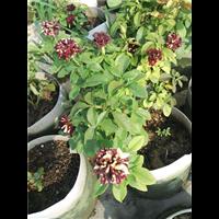 徐州花卉、月季养殖基地