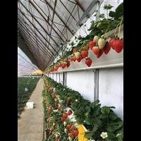 元氏草莓种植槽厂家-元氏草莓种植槽
