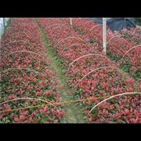 红叶石楠―红叶石楠批发价格