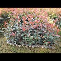 红叶石楠―广西红叶石楠批发