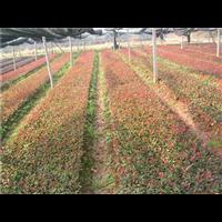 红叶石楠―红叶石楠价格