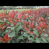 大型红叶石楠苗场