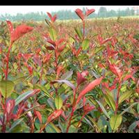 专业种植红叶石楠