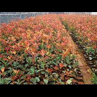 大量红叶石楠批发