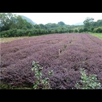 梧州红叶石楠价格_梧州专业种植红叶石楠