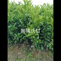 嫁接沃柑苗|优质沃柑苗|高产量沃柑苗
