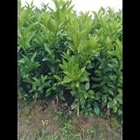 高产量桔苗―沃柑苗