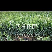 沃柑苗价格―供应沃柑苗