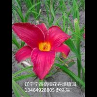 红宝石萱草