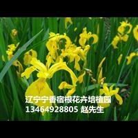 鸢尾(黄花)