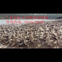 广东阳江鹅苗