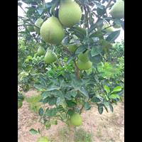 贵州柚苗种植基地