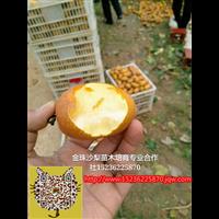 洛阳金珠沙梨苗