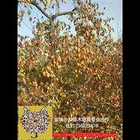 金珠沙梨王1-2年生树苗