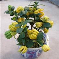 武汉商场植物盆景绿化苗木,武汉室内外花木盆栽租售服务