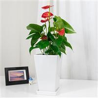 武汉绿植服务喜庆送礼花卉盆栽,武汉花木服务会议植物