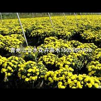 国庆菊|山东国庆菊|山东青州草花