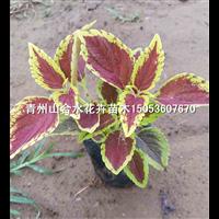 黄色彩叶草|山东青州草花