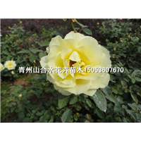 黄帽月季|青州月季|山东青州草花